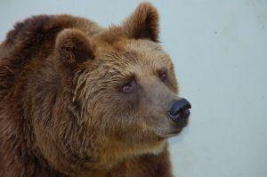 1154723_bear_face